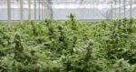 Allemagne : le remboursement du cannabis médical pas automatique