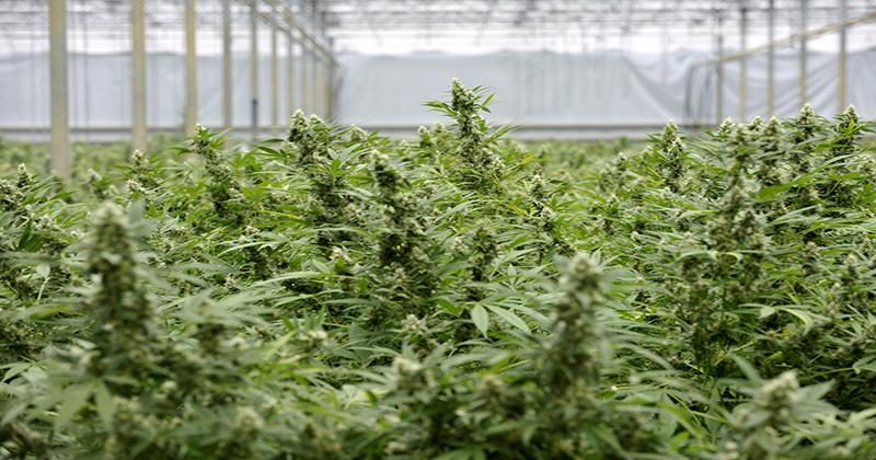 Allemagne : les patients réclament le remboursement du cannabis médical