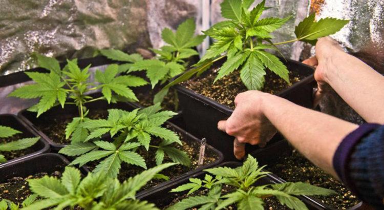 La Catalogne légalise la culture et la consommation de cannabis