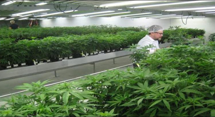 Les Balkans à l'assaut du cannabis médical