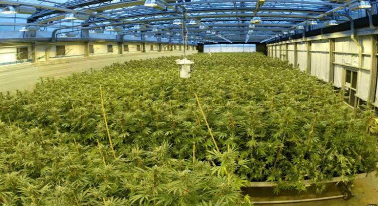 Royaume-Uni - Une organisation souhaite légaliser le cannabis pour la sclérose en plaques