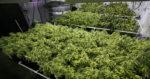 Le cannabis uruguayen vendu en pharmacie ne contiendra que 2% de THC