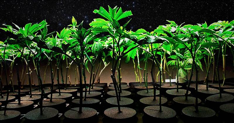 Clones élites de cannabis