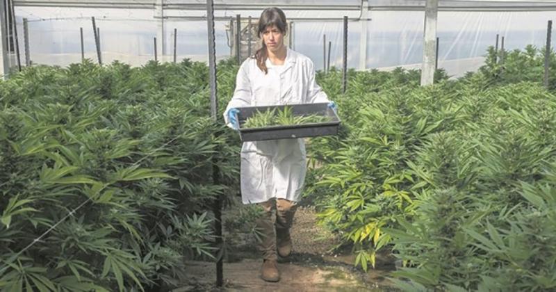 Colombie - Le gouvernement liste les règlementations du cannabis médical