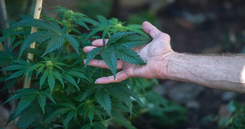 En Afrique du Sud, le cannabis médical est mis à rude épreuve