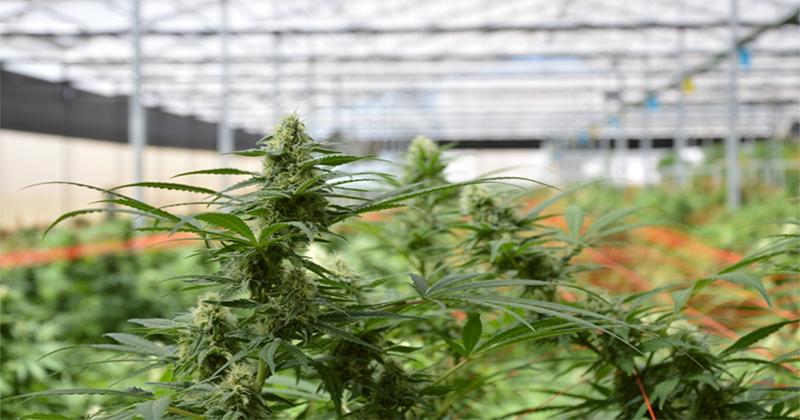 Israël - Les ministères de finance et de santé approuvent l'exportation de cannabis