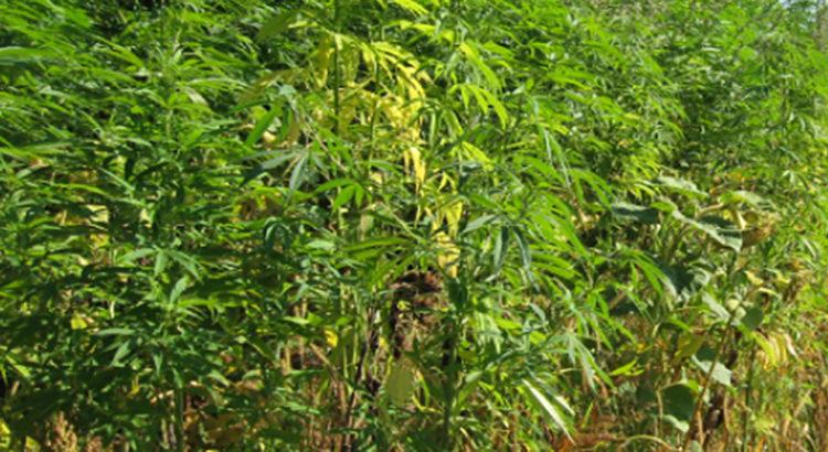 Le Sri Lanka et les défis du cannabis