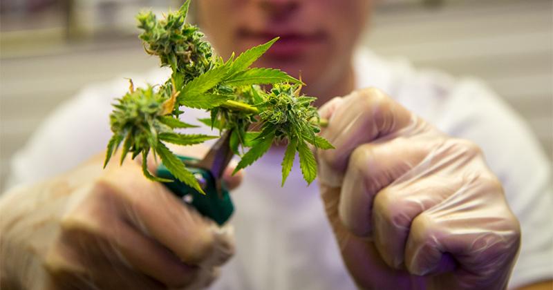 Etudier le cannabis en Europe