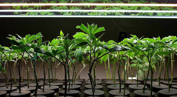 Clones de cannabis
