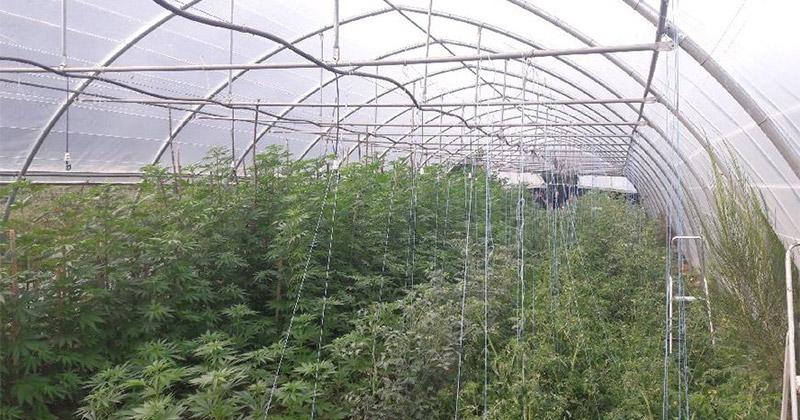 Une culture de cannabis en France