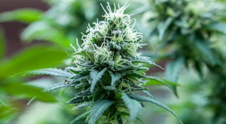 Cannabis médical en Nouvelle-Zélande