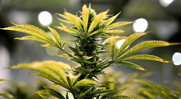 Cannabis en pharmacie en Allemagne