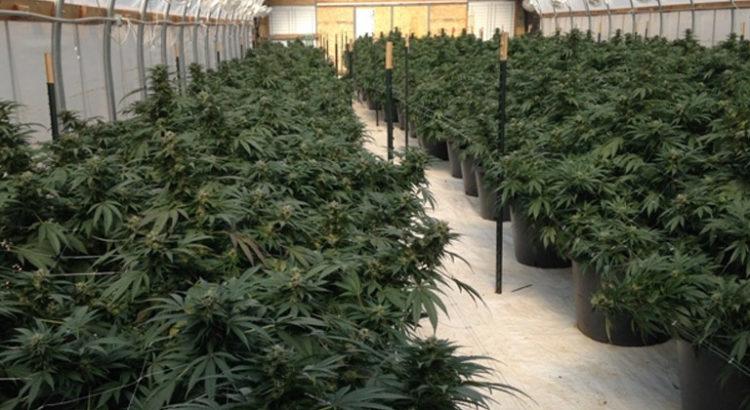 Plantation de cannabis aux Pays-Bas