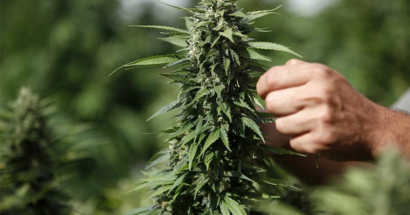 Israël veut exporter 1 milliard de dollars en cannabis