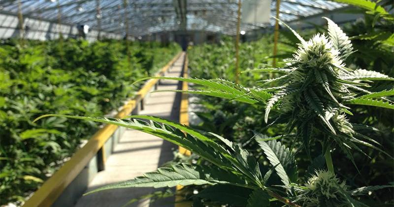 Cannabis gratuit en Italie