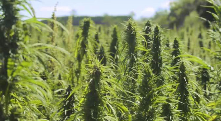 Cannabis médical australien