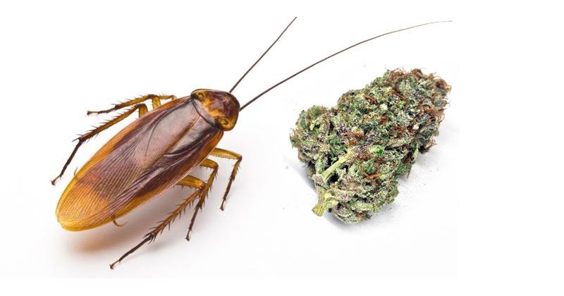 Cucaracha et cannabis