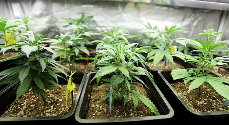 Culture de cannabis en Allemagne