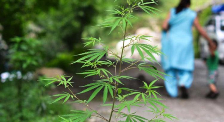 Légalisation du cannabis en Inde