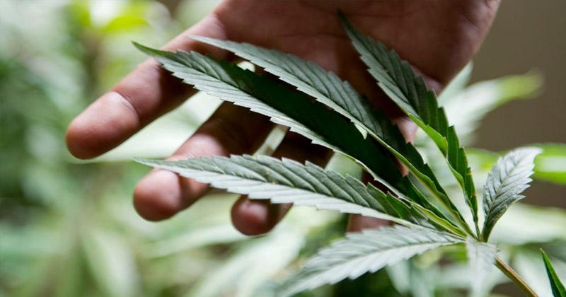 Projet de légalisation du cannabis en Suisse