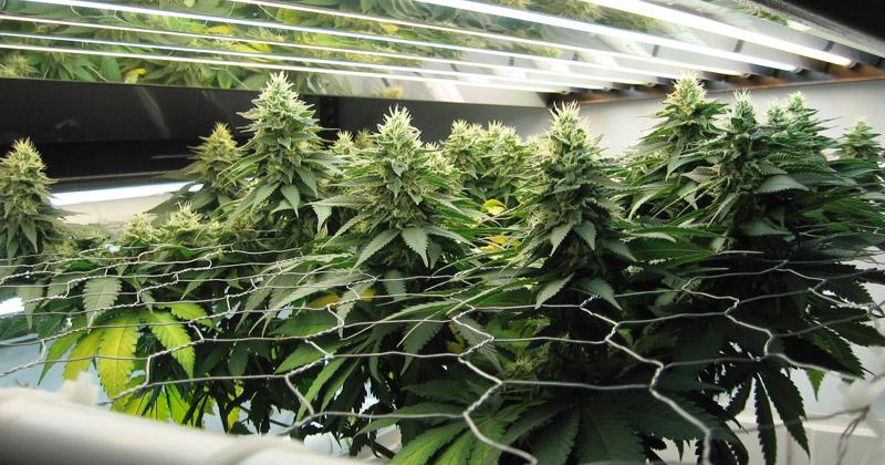 Autoculture de cannabis en Israël