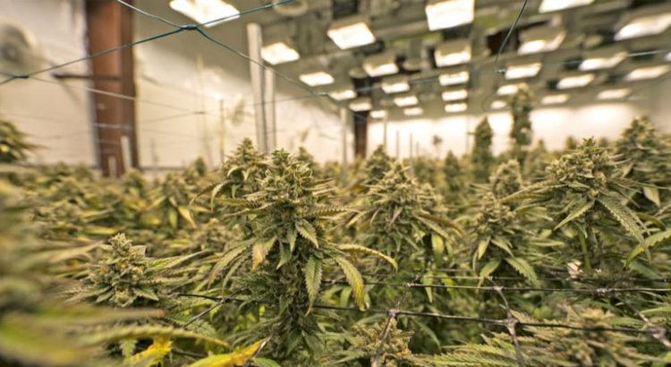 Licence de cannabis en Californie