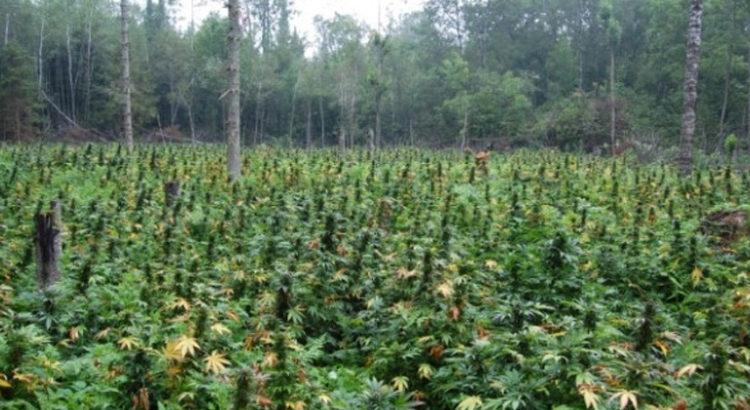 Cannabis au Ghana