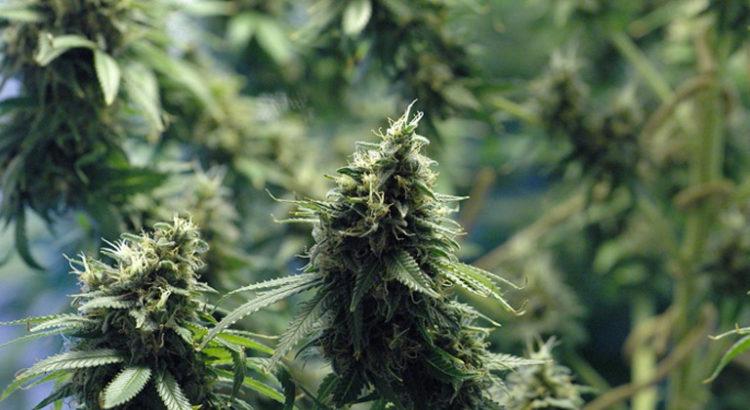 Légalisation du cannabis en Colombie-Britannique