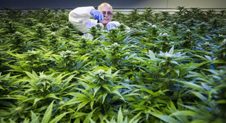 Export de cannabis en Australie