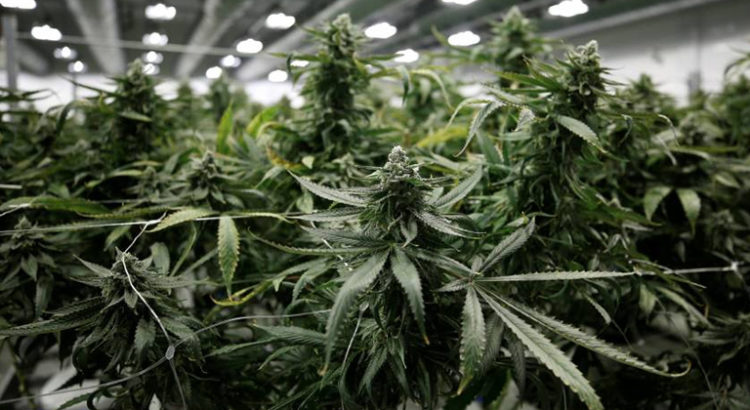 Cannabis au Canada