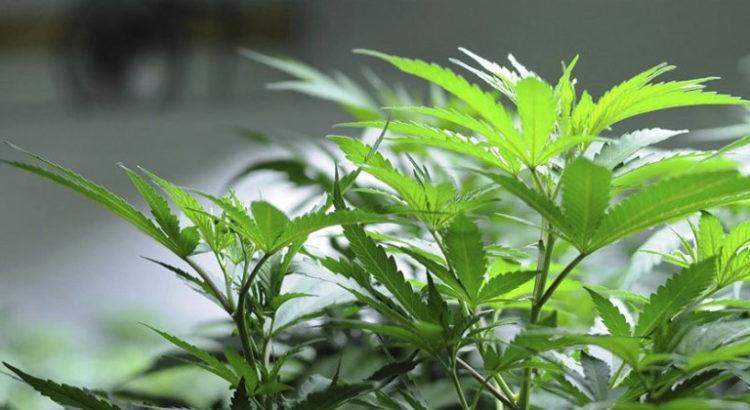 Amende pour du cannabis en France