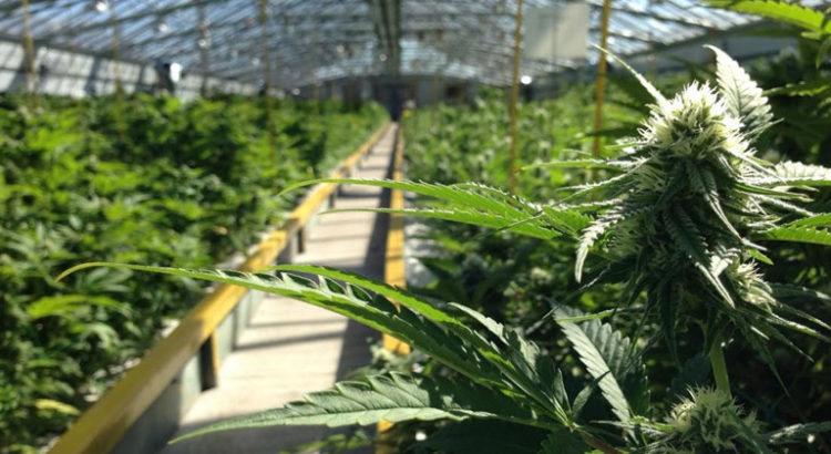 Cannabis médical en France