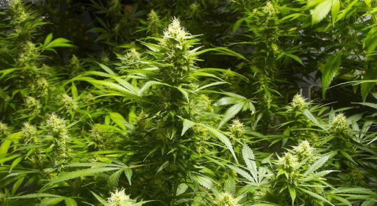 Légalisation du cannabis au Kentucky