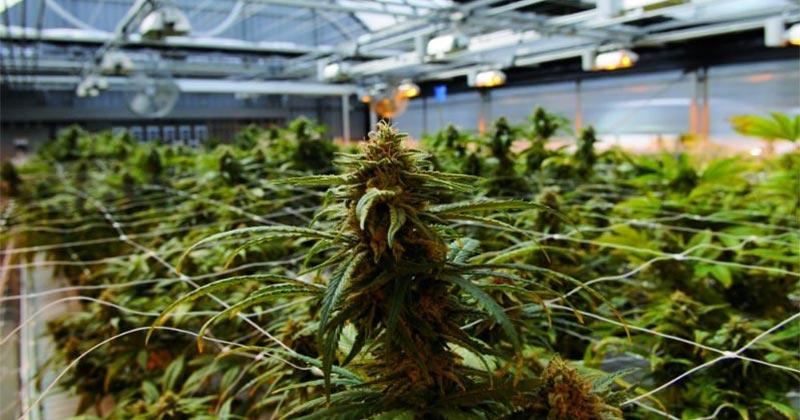 Quantité de cannabis consommée en France