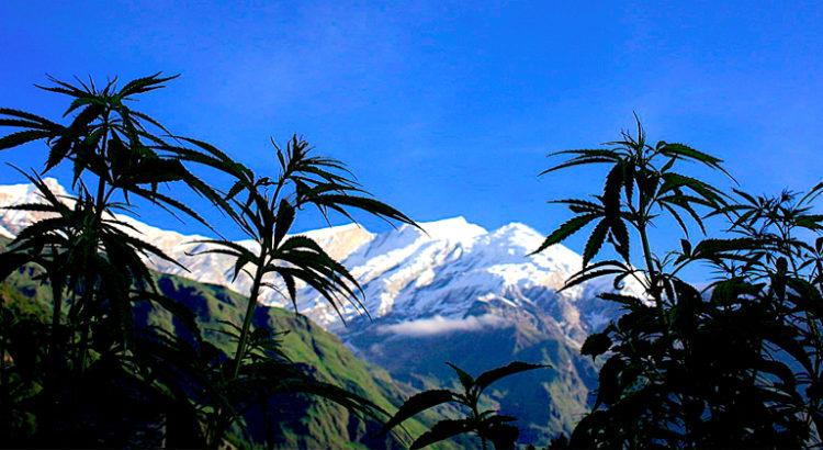 Trader du cannabis