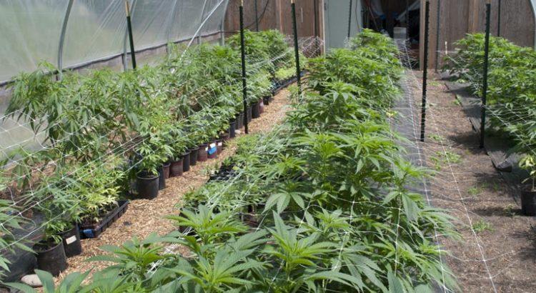 Cannabis médical au Lesotho