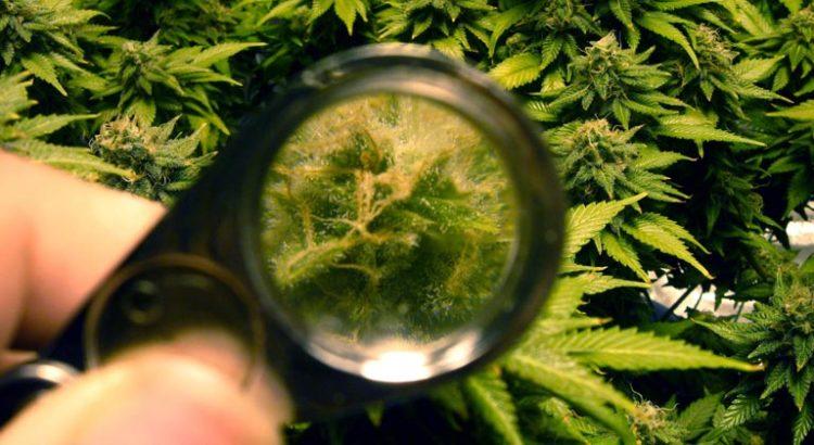 Flavonoïdes du cannabis