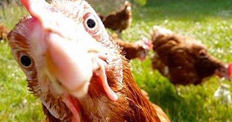 Chanvre pour poules
