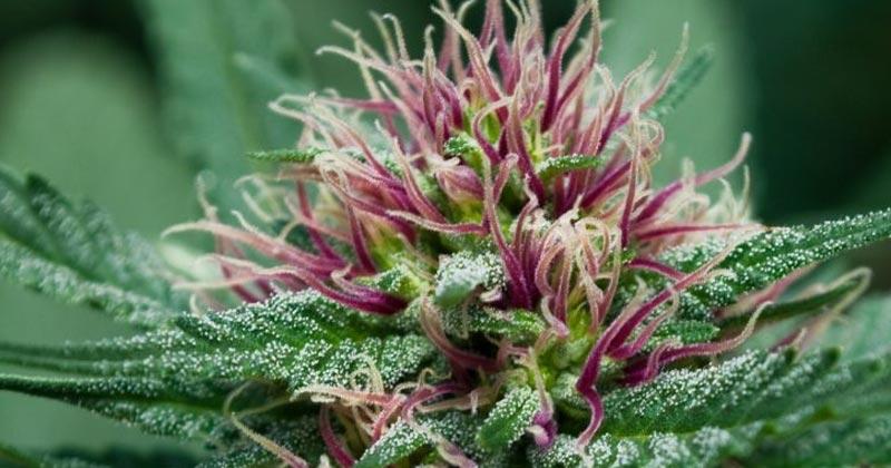 Légalisation du cannabis en Suisse