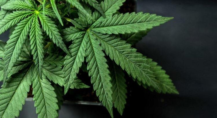 Cannabis et cancer de l'ovaire
