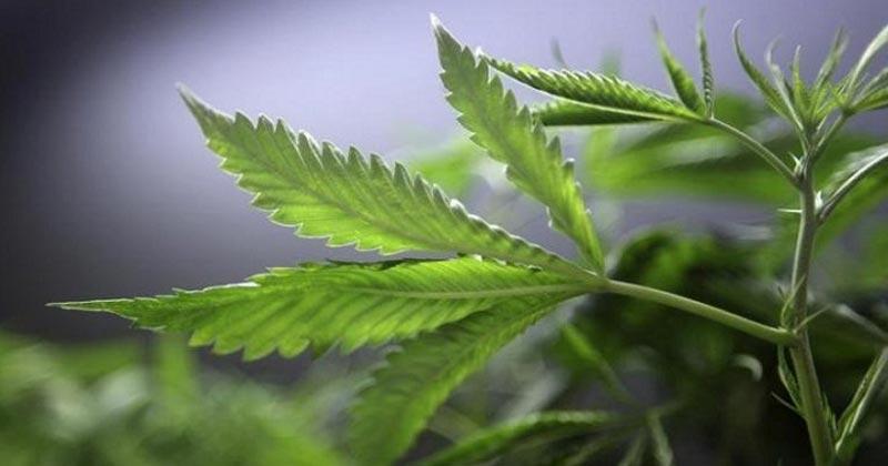 Isra l reprise des exportations de cannabis m dical et for Entreprise de fenetre