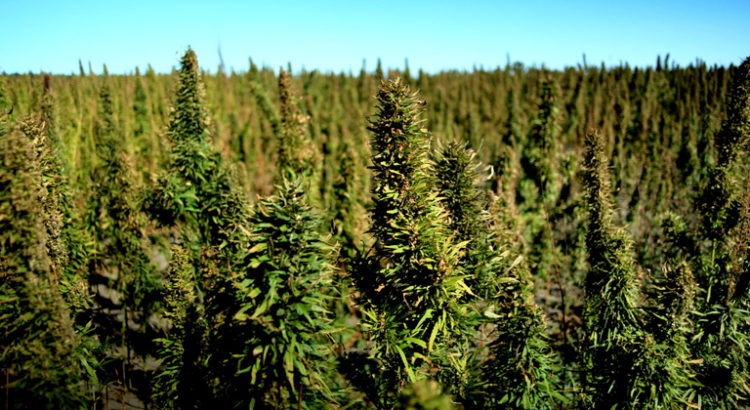 Légalisation du chanvre aux USA