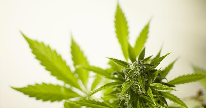 Fusion d'entreprises du cannabis