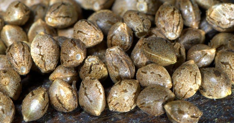 Génétique de graines de cannabis
