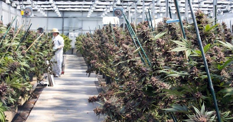 Modèles de légalisation du cannabis médical en France