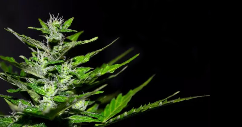 Légalisation du cannabis médical au Zimbabwe