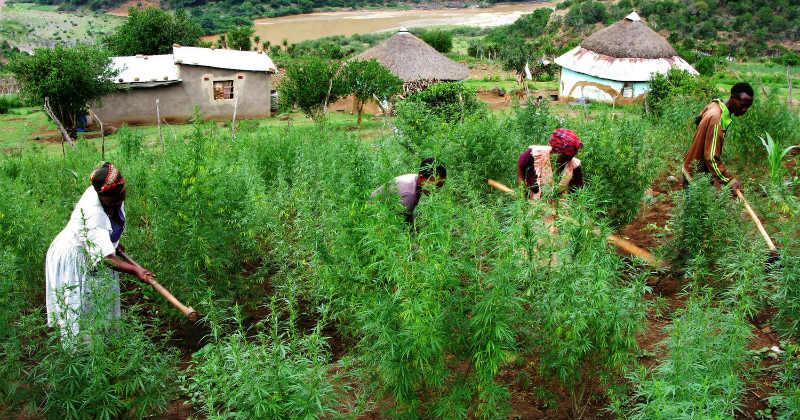 afrique cannabis