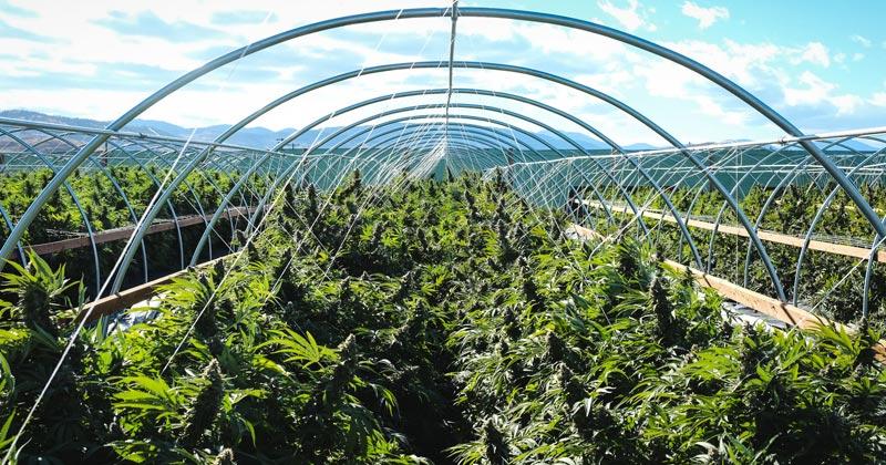 Culture de cannabis en extérieur au Canada
