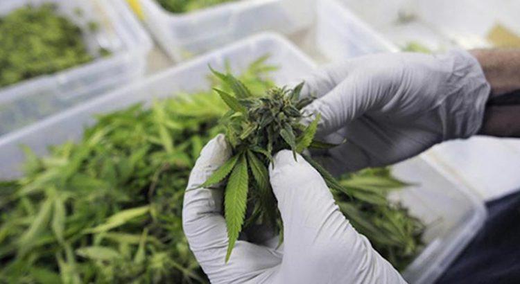 Etude sur le cannabis médical et les douleurs