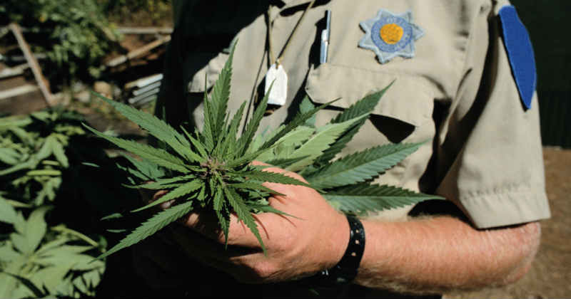 DEA cannabis